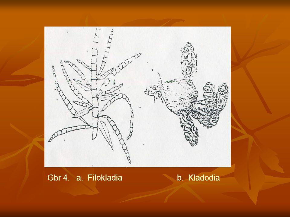 Gbr 4. a. Filokladia b. Kladodia