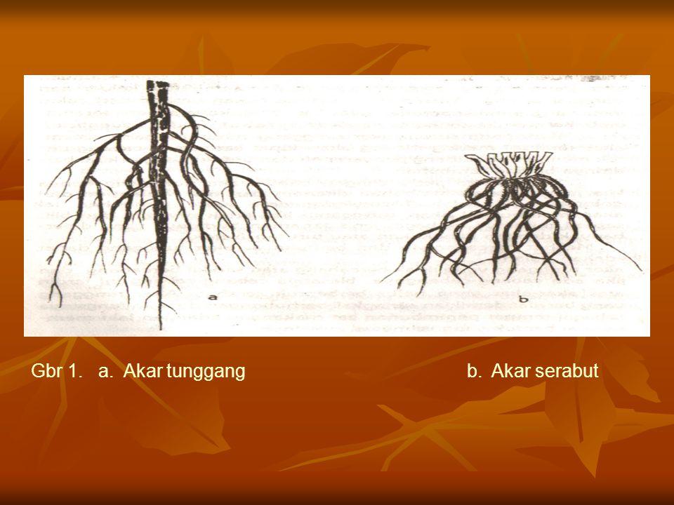 Berdasarkan percabangan dan bentuknya, akar tunggang dapat dibedakan atas : 1.