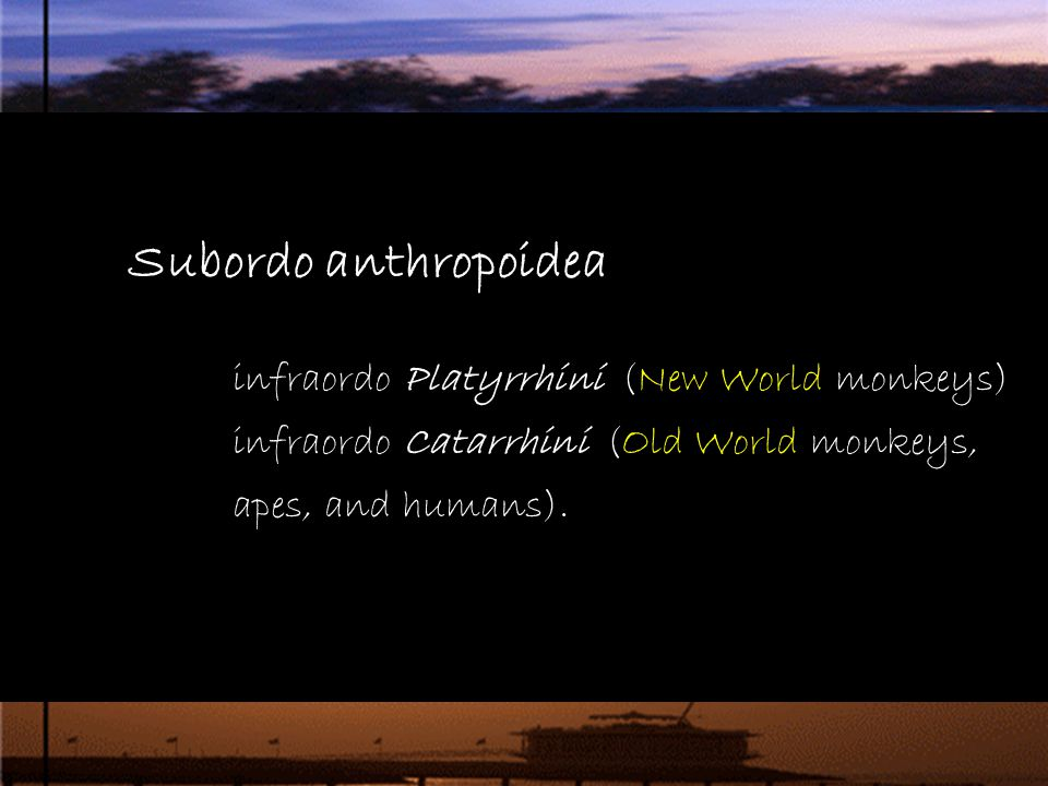 Subordo anthropoidea infraordo Platyrrhini (New World monkeys) infraordo Catarrhini (Old World monkeys, apes, and humans)..