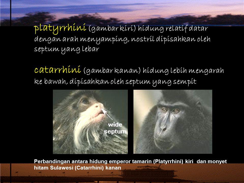 platyrrhini (gambar kiri) hidung relatif datar dengan arah menyamping, nostril dipisahkan oleh septum yang lebar catarrhini (gambar kanan) hidung lebih mengarah ke bawah, dipisahkan oleh septum yang sempit.