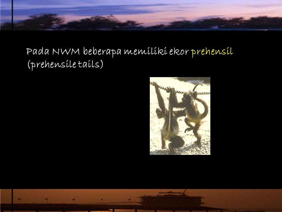 Pada NWM beberapa memiliki ekor prehensil (prehensile tails)