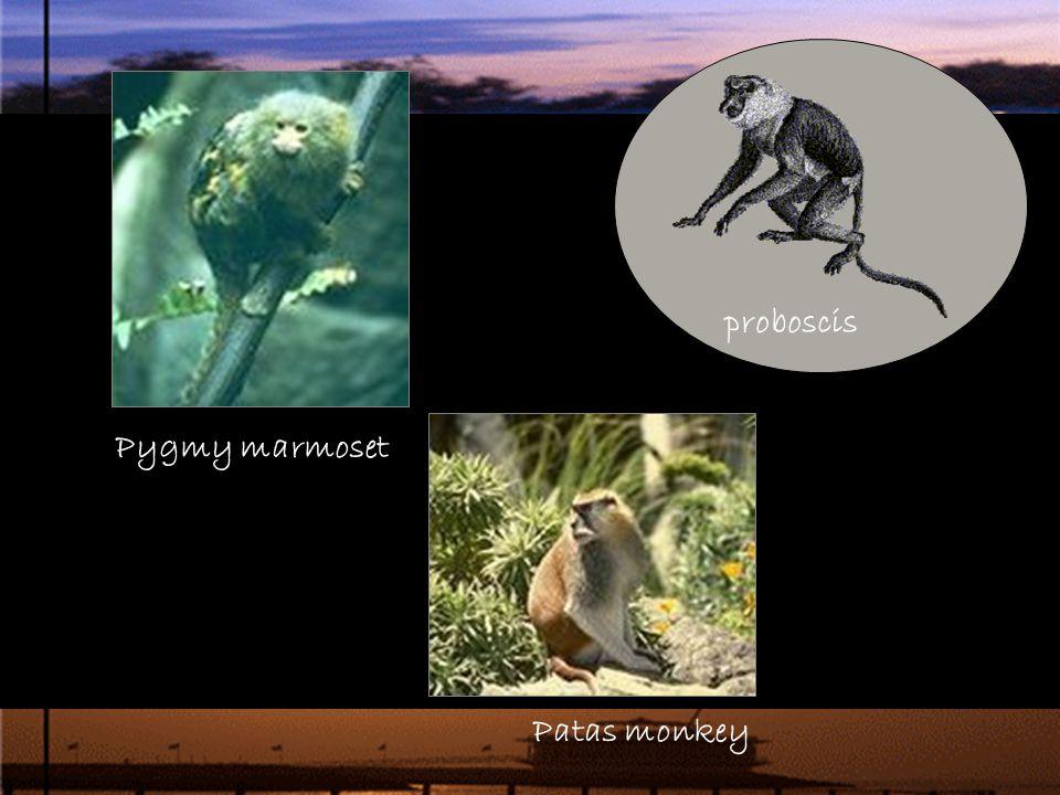Pygmy marmoset Patas monkey proboscis