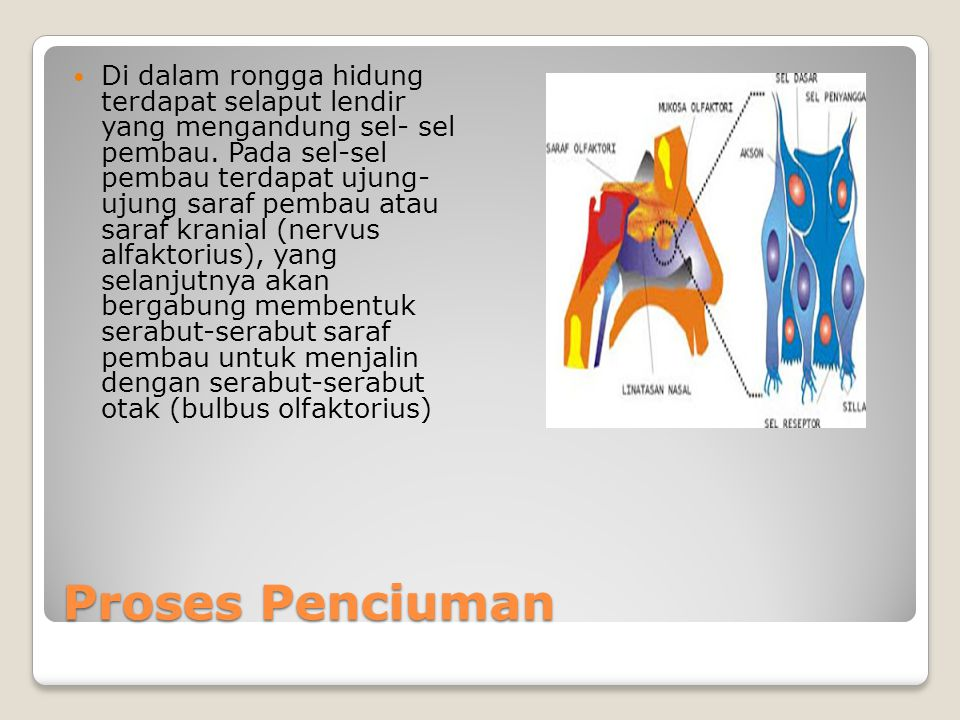 Proses Penciuman Di dalam rongga hidung terdapat selaput lendir yang mengandung sel- sel pembau. Pada sel-sel pembau terdapat ujung- ujung saraf pemba