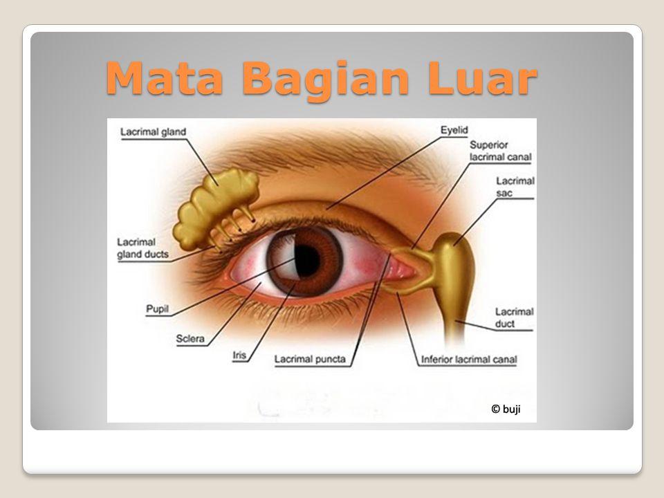 A. Telinga Bagian Luar