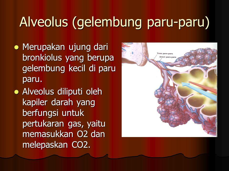 Alveolus (gelembung paru-paru) Merupakan ujung dari bronkiolus yang berupa gelembung kecil di paru paru. Merupakan ujung dari bronkiolus yang berupa g