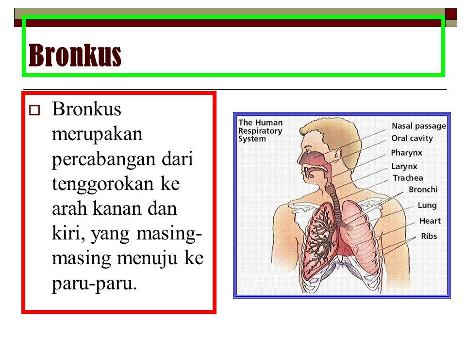 Bronkus  Bronkus merupakan percabangan dari tenggorokan ke arah kanan dan kiri, yang masing- masing menuju ke paru-paru.