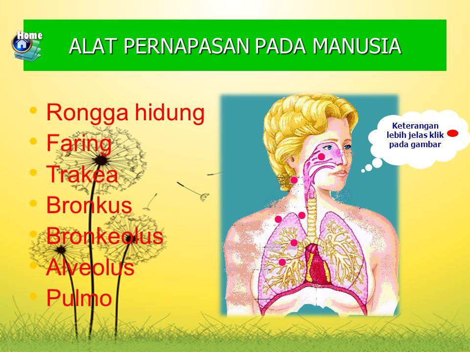 Keterangan lebih jelas klik pada gambar ALAT PERNAPASAN PADA MANUSIA Rongga hidung Faring Trakea Bronkus Bronkeolus Alveolus Pulmo