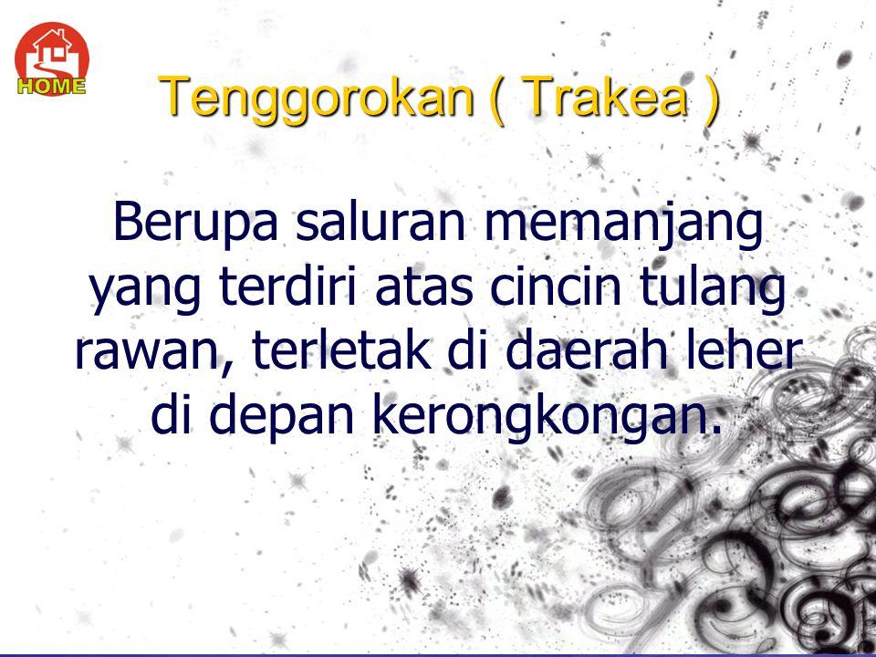 Tenggorokan ( Trakea ) Berupa saluran memanjang yang terdiri atas cincin tulang rawan, terletak di daerah leher di depan kerongkongan.