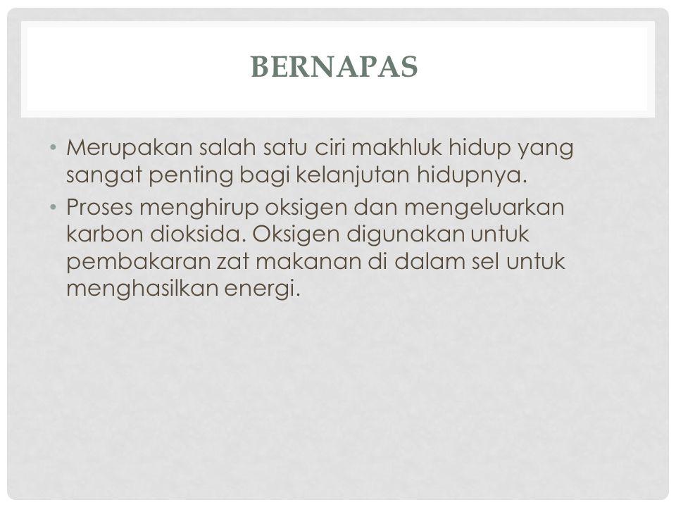 SALURAN PERNAPASAN MANUSIA hidung → pangkal tenggorokan (faring) → batang tenggorokan (trakea) → cabang batang tenggorokan (bronkus) → paru-paru (pulmo)