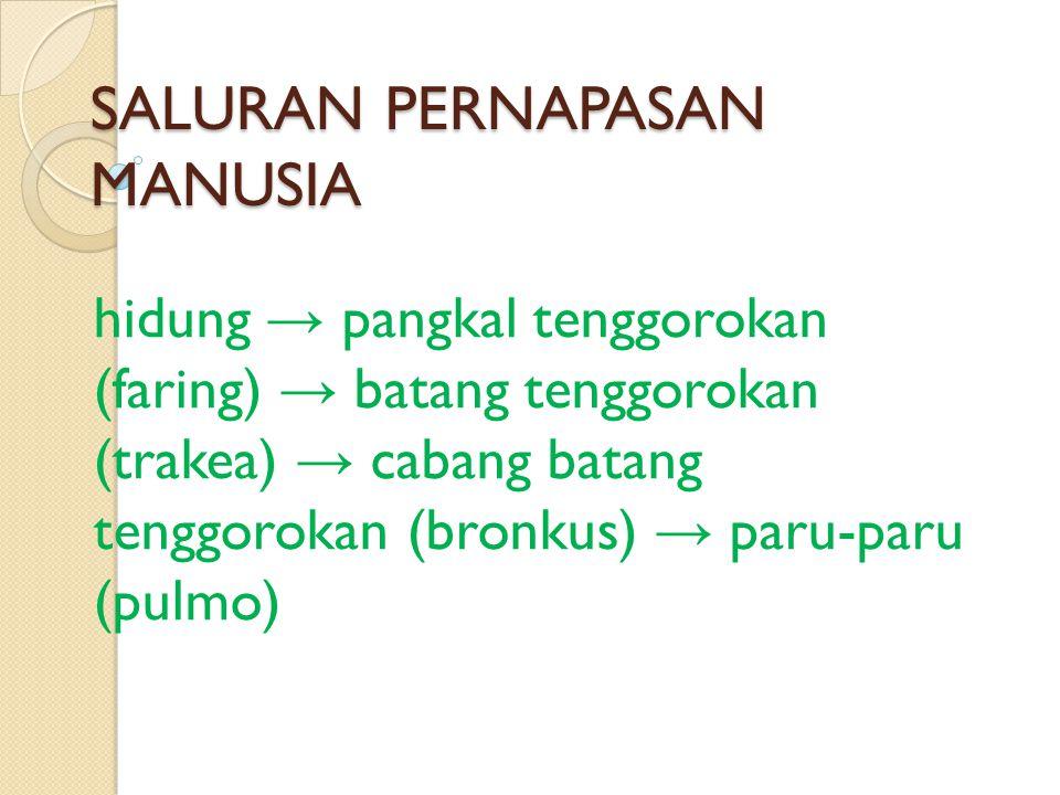 SALURAN PERNAPASAN MANUSIA hidung → pangkal tenggorokan (faring) → batang tenggorokan (trakea) → cabang batang tenggorokan (bronkus) → paru-paru (pulm