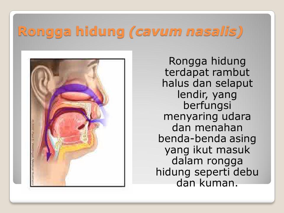 Rongga hidung (cavum nasalis) Rongga hidung terdapat rambut halus dan selaput lendir, yang berfungsi menyaring udara dan menahan benda-benda asing yan