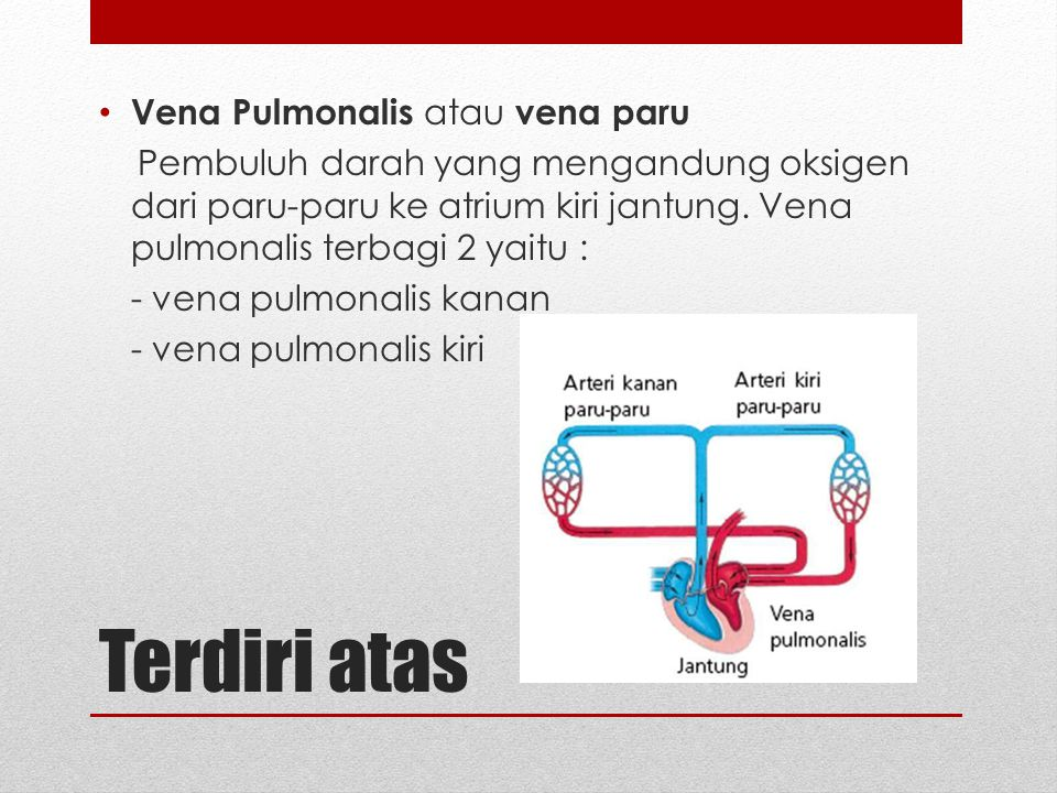 Terdiri atas Vena Pulmonalis atau vena paru Pembuluh darah yang mengandung oksigen dari paru-paru ke atrium kiri jantung. Vena pulmonalis terbagi 2 ya