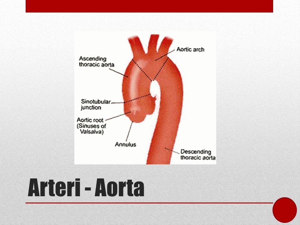Arteri - Aorta