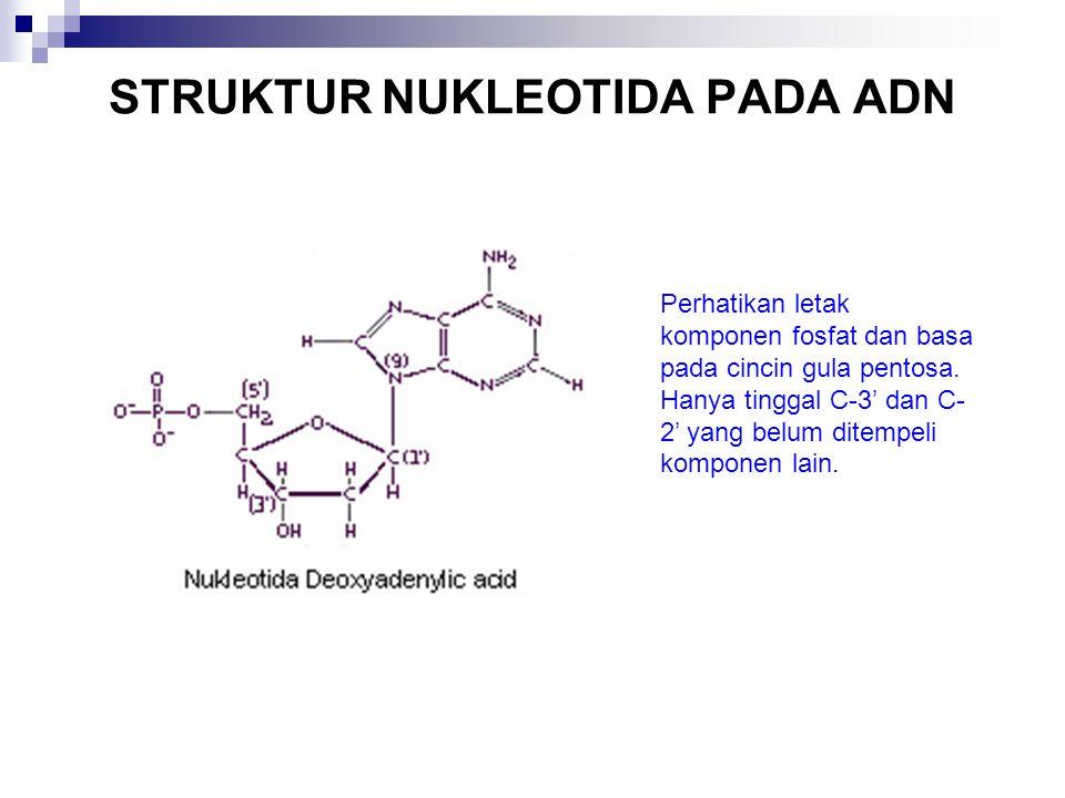 STRUKTUR NUKLEOTIDA PADA ADN Perhatikan letak komponen fosfat dan basa pada cincin gula pentosa. Hanya tinggal C-3' dan C- 2' yang belum ditempeli kom