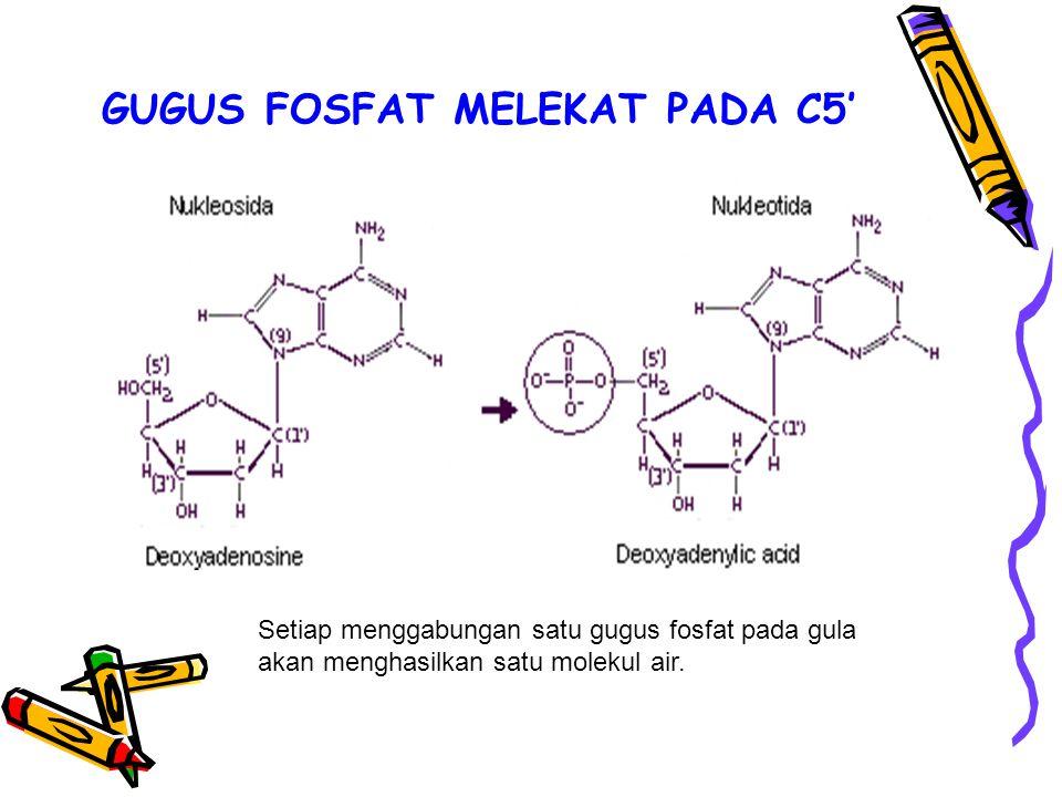 GUGUS FOSFAT MELEKAT PADA C5' Setiap menggabungan satu gugus fosfat pada gula akan menghasilkan satu molekul air.