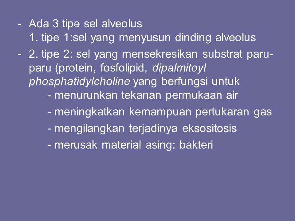 -Ada 3 tipe sel alveolus 1. tipe 1:sel yang menyusun dinding alveolus -2. tipe 2: sel yang mensekresikan substrat paru- paru (protein, fosfolipid, dip