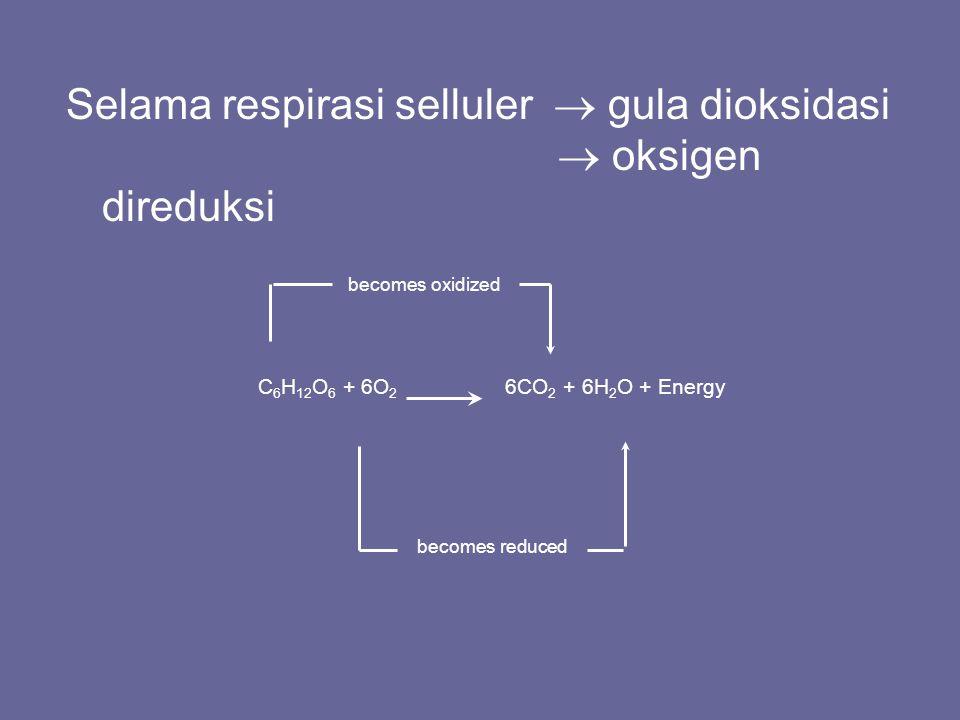 Pernapasan seluler adalah kumpulan dari tiga langkah-langkah metabolisme: –Glikolisis: proses perombakan glukosa menjadi dua molekul piruvat –Siklus asam sitrat: proses perombakan glukosa yang lengkap –Fosforilasi oksidasi: dipengaruhi oleh rantai transpot elektron dan menghasilkan ATP