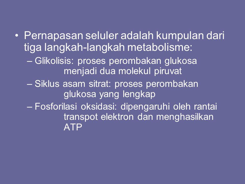 Pernapasan seluler adalah kumpulan dari tiga langkah-langkah metabolisme: –Glikolisis: proses perombakan glukosa menjadi dua molekul piruvat –Siklus a