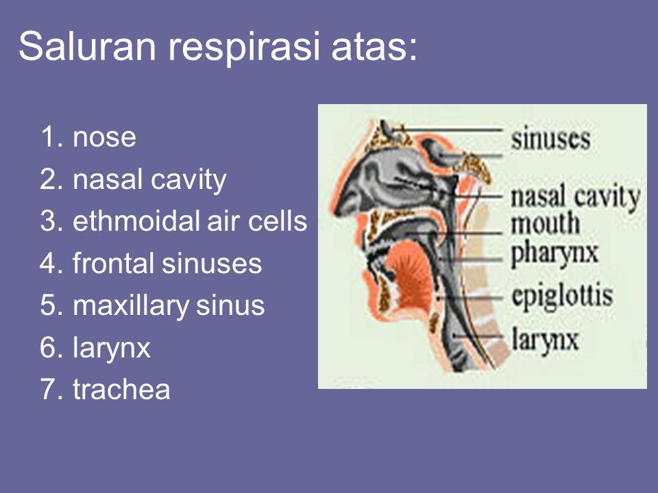 Saluran respirasi atas: 1.nose 2.nasal cavity 3.ethmoidal air cells 4.frontal sinuses 5.maxillary sinus 6.larynx 7.trachea