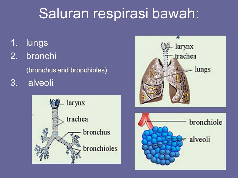 Saluran respirasi bawah: 1.lungs 2.bronchi (bronchus and bronchioles) 3. alveoli