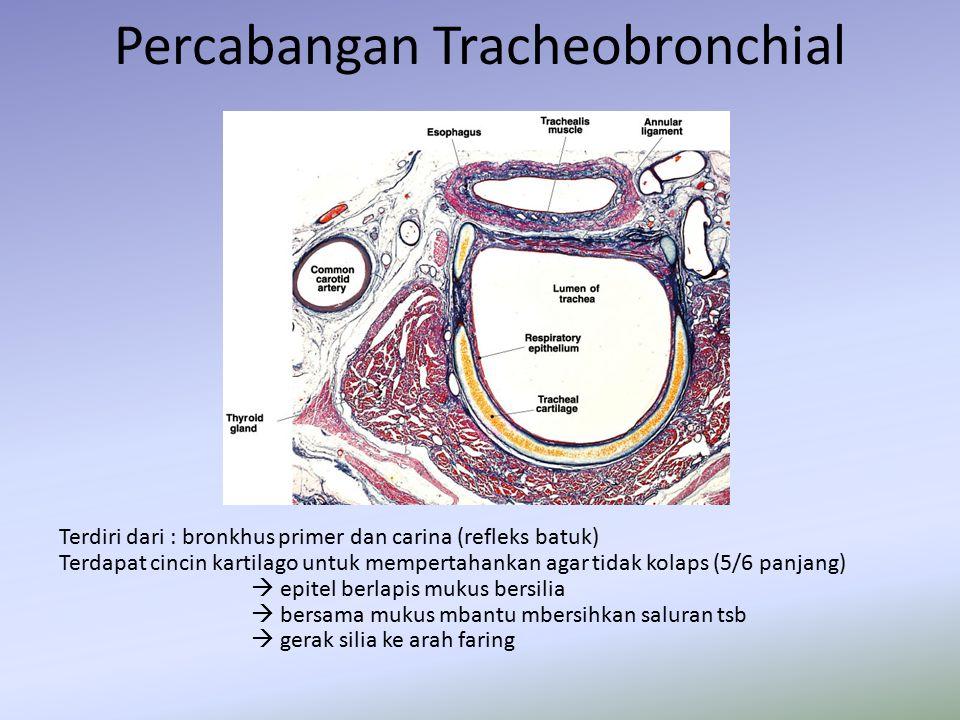 Percabangan Tracheobronchial Terdiri dari : bronkhus primer dan carina (refleks batuk) Terdapat cincin kartilago untuk mempertahankan agar tidak kolap