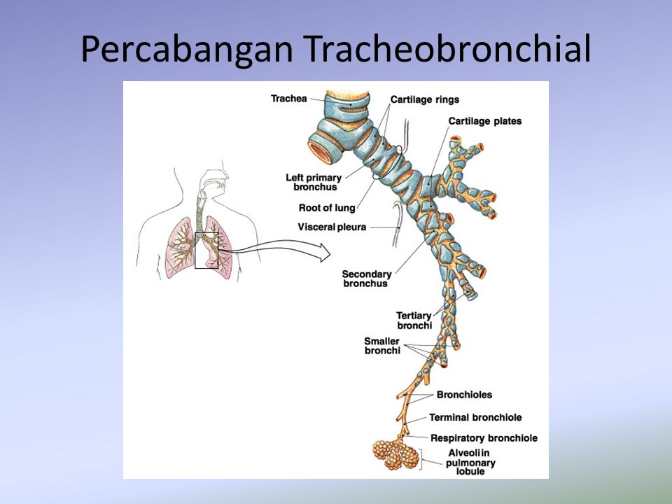 Percabangan Tracheobronchial