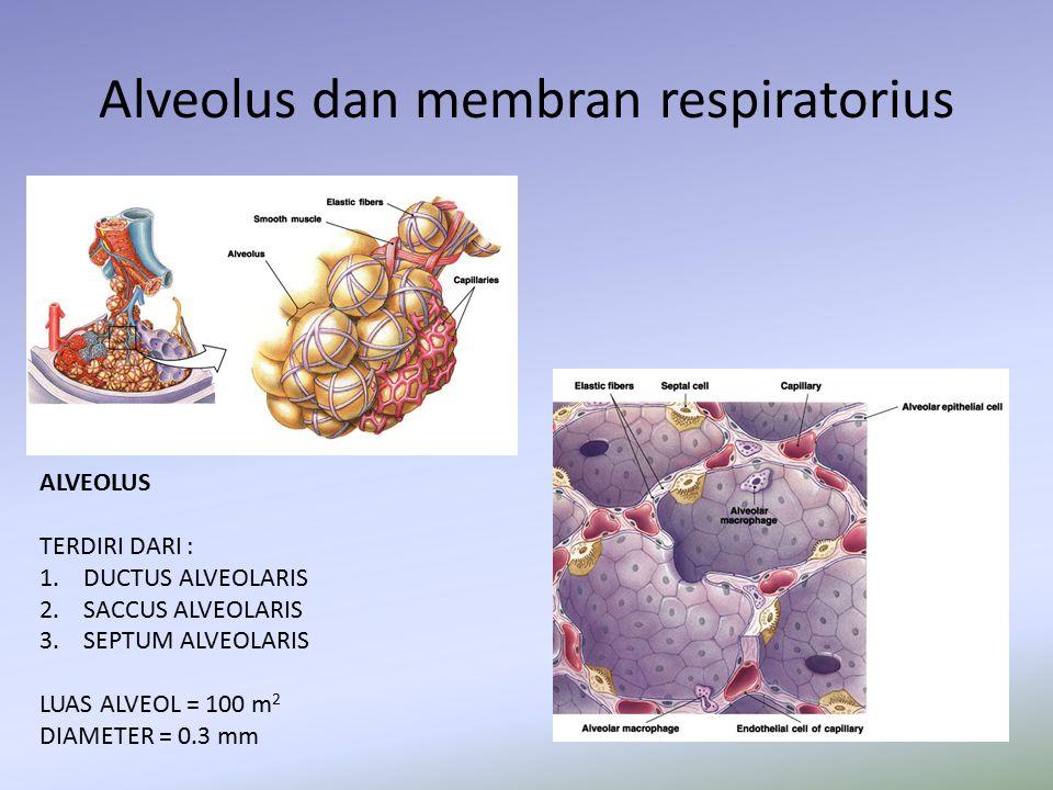 Alveolus dan membran respiratorius ALVEOLUS TERDIRI DARI : 1. DUCTUS ALVEOLARIS 2. SACCUS ALVEOLARIS 3. SEPTUM ALVEOLARIS LUAS ALVEOL = 100 m 2 DIAMET