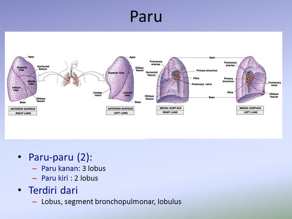 Paru Paru-paru (2): – Paru kanan: 3 lobus – Paru kiri : 2 lobus Terdiri dari – Lobus, segment bronchopulmonar, lobulus