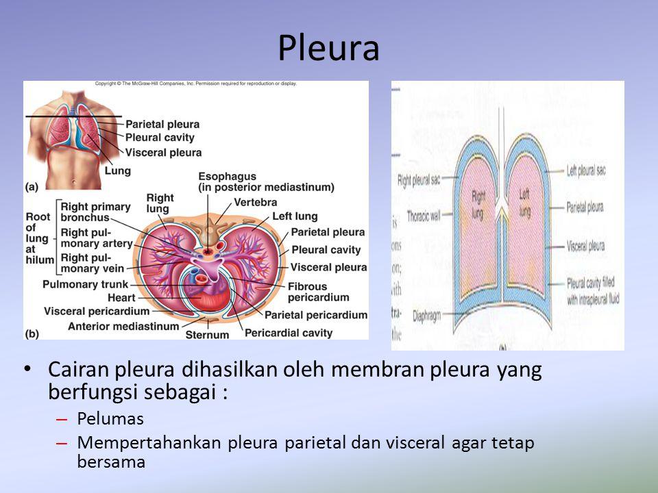 Pleura Cairan pleura dihasilkan oleh membran pleura yang berfungsi sebagai : – Pelumas – Mempertahankan pleura parietal dan visceral agar tetap bersam