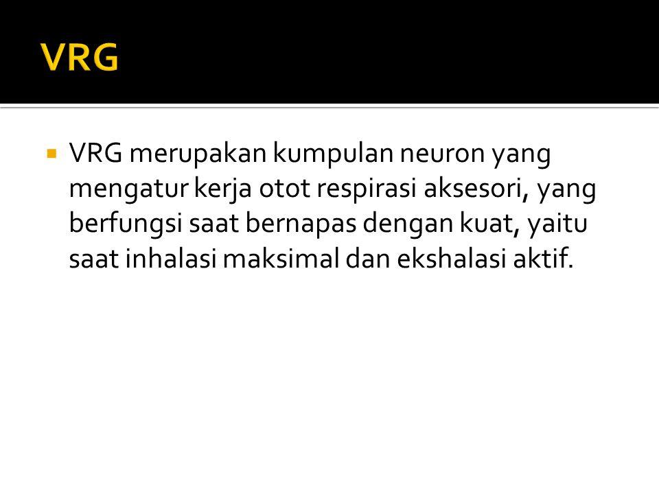  VRG merupakan kumpulan neuron yang mengatur kerja otot respirasi aksesori, yang berfungsi saat bernapas dengan kuat, yaitu saat inhalasi maksimal da