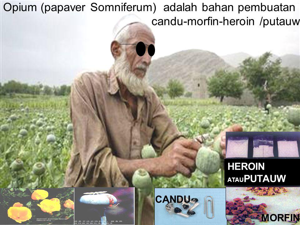 Opium (papaver Somniferum) adalah bahan pembuatan candu-morfin-heroin /putauw CANDU MORFIN HEROIN ATAU PUTAUW