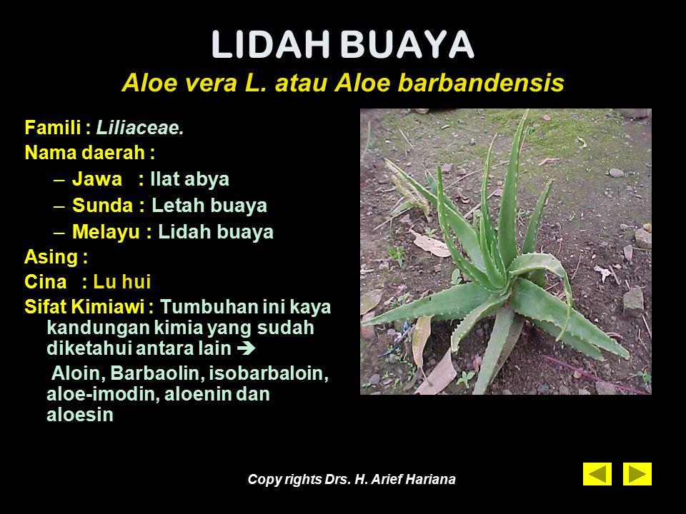 Copy rights Drs. H. Arief Hariana Lidah Buaya yang sedang berbunga Photo di lokasi Kebun Tanaman Obat Taman Sringanis