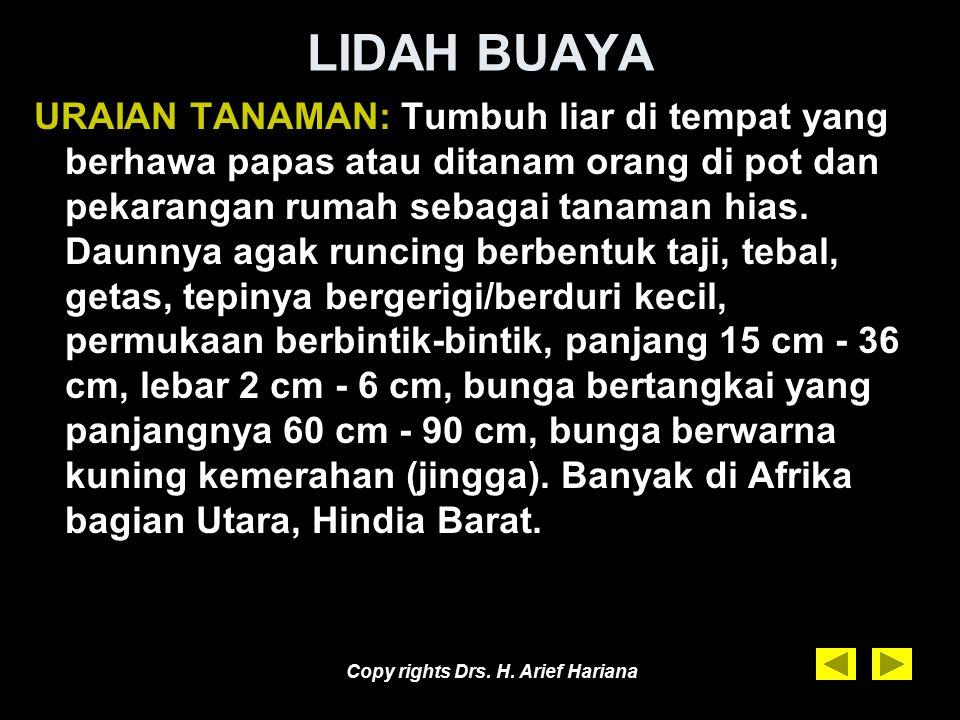 Copy rights Drs. H. Arief Hariana LIDAH BUAYA Aloe vera L. atau Aloe barbandensis Famili : Liliaceae. Nama daerah : –Jawa : Ilat abya –Sunda : Letah b
