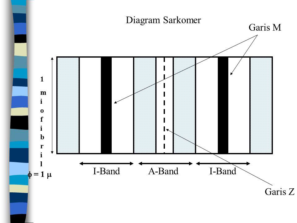 Diagram Sarkomer 1miofibril1miofibril I-BandA-BandI-Band Garis M Garis Z  = 1 