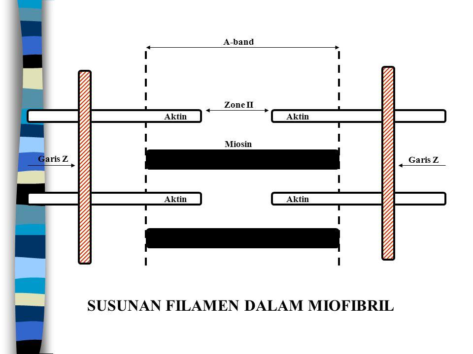 A-band Zone II Miosin Aktin Garis Z SUSUNAN FILAMEN DALAM MIOFIBRIL