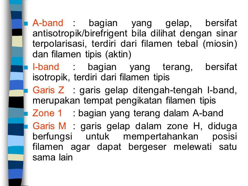 n A-band: bagian yang gelap, bersifat antisotropik/birefrigent bila dilihat dengan sinar terpolarisasi, terdiri dari filamen tebal (miosin) dan filamen tipis (aktin) n I-band: bagian yang terang, bersifat isotropik, terdiri dari filamen tipis n Garis Z: garis gelap ditengah-tengah I-band, merupakan tempat pengikatan filamen tipis n Zone 1: bagian yang terang dalam A-band n Garis M : garis gelap dalam zone H, diduga berfungsi untuk mempertahankan posisi filamen agar dapat bergeser melewati satu sama lain