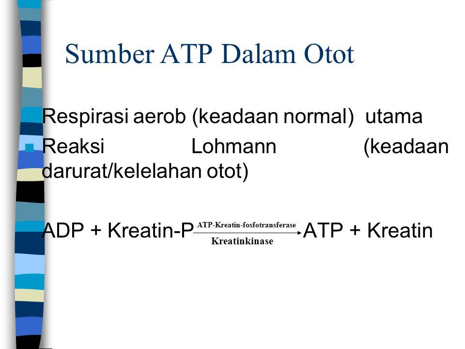 Sumber ATP Dalam Otot n Respirasi aerob (keadaan normal) utama n Reaksi Lohmann (keadaan darurat/kelelahan otot) ADP + Kreatin-PATP + Kreatin Kreatinkinase ATP-Kreatin-fosfotransferase