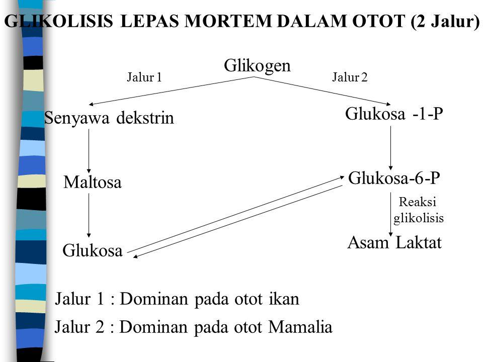 GLIKOLISIS LEPAS MORTEM DALAM OTOT (2 Jalur) Glikogen Senyawa dekstrin Maltosa Glukosa Glukosa -1-P Glukosa-6-P Asam Laktat Reaksi glikolisis Jalur 2Jalur 1 Jalur 1 : Dominan pada otot ikan Jalur 2 : Dominan pada otot Mamalia