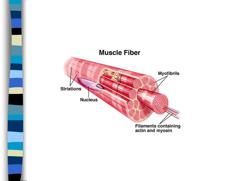Proses Kontraksi n Serat otot menerima rangsangan dari pusat syaraf sentral n Depolarisasi membran sel otot dan sistem T n Pembebasan ion Ca dari kantung terminal n Adanya calsium mengakibatkan pembebasan ATP dari komplek Mg-ATP dan aktivitas enzim ATP-ase n Hidrolisis ATP oleh enzim ATP-ase membebaskan energi untuk kontraksi n Terjadi kontraksi otot yaitu pergeseran aktin melalui miosin, membentuk aktomiosin