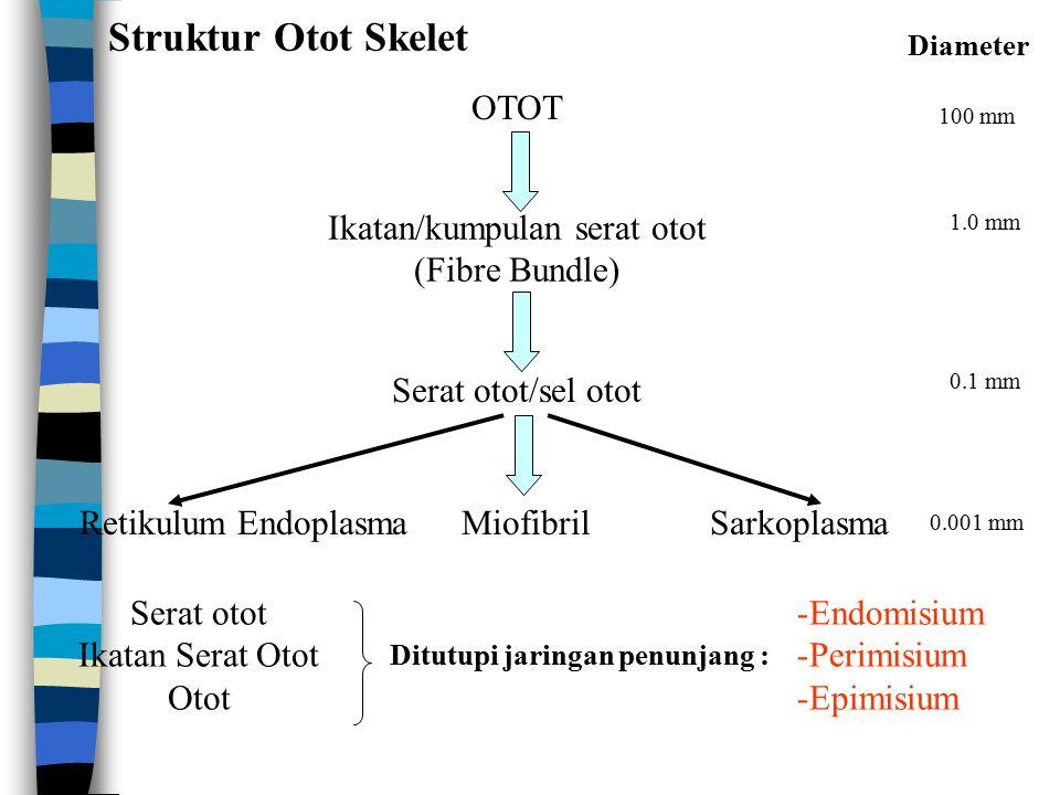 Bagian-bagian Sel Otot n Sarkolemma : - Membran sel yang terdiri dari 3 lapisan - Lapisan paling dalam = mambran plasma dalam - Kedua ujung sistem T bertemu dekat pada 2 kantung terminal (terminal sacs) dari Retikulum Endoplasma