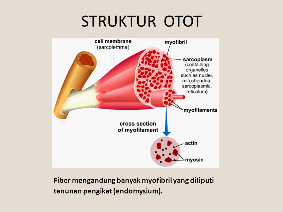 STRUKTUR OTOT Fiber mengandung banyak myofibril yang diliputi tenunan pengikat (endomysium).
