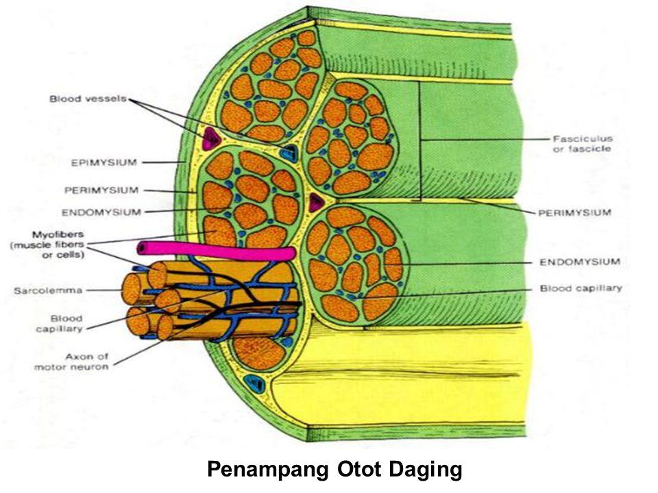 SERAT OTOT DAGING Endomisium adalah tenunan pengikat yang mengikat setiap serat-serat otot daging.