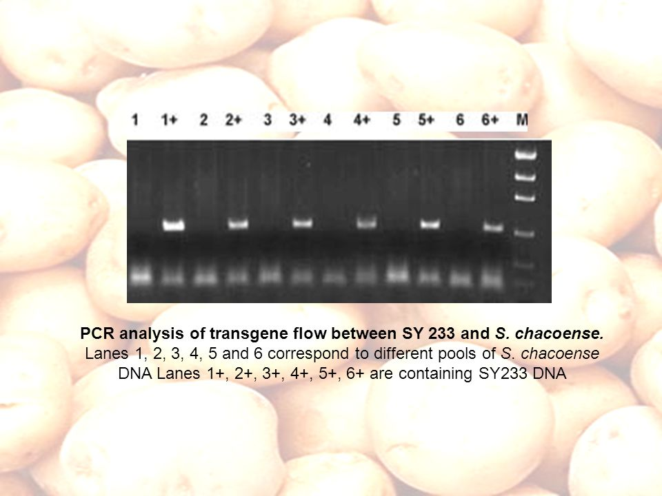 PCR analysis of transgene flow between SY 233 and S. chacoense. Lanes 1, 2, 3, 4, 5 and 6 correspond to different pools of S. chacoense DNA Lanes 1+,