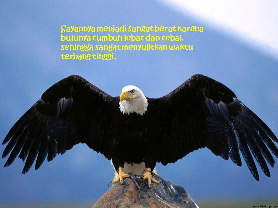 Untuk melakukan transformasi itu, elang harus berusaha keras terbang ke atas puncak gunung untuk kemudian membuat sarang di tepi jurang, berhenti dan tinggal di sana selama proses transformasi berlangsung.