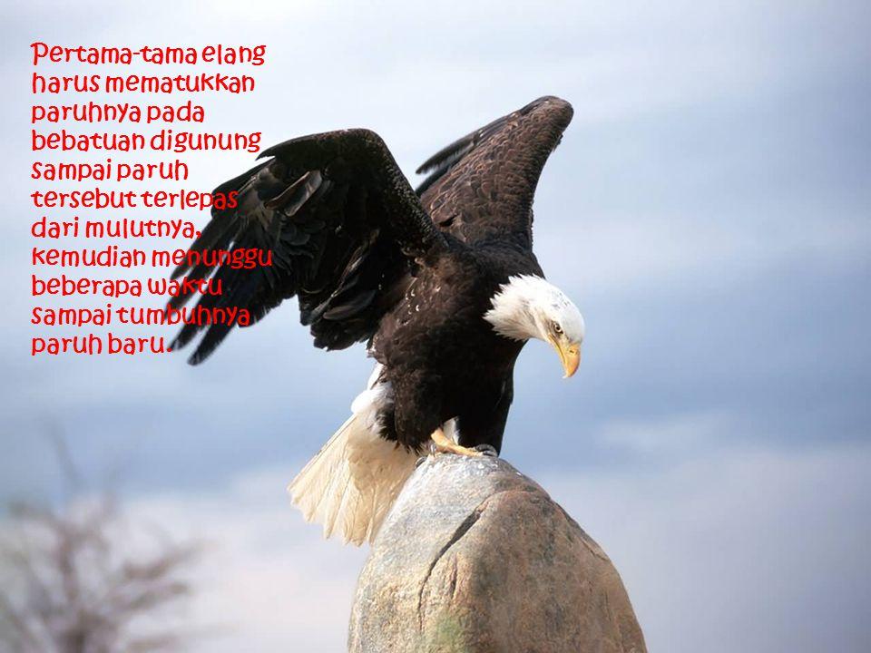 Pertama-tama elang harus mematukkan paruhnya pada bebatuan digunung sampai paruh tersebut terlepas dari mulutnya, kemudian menunggu beberapa waktu sam