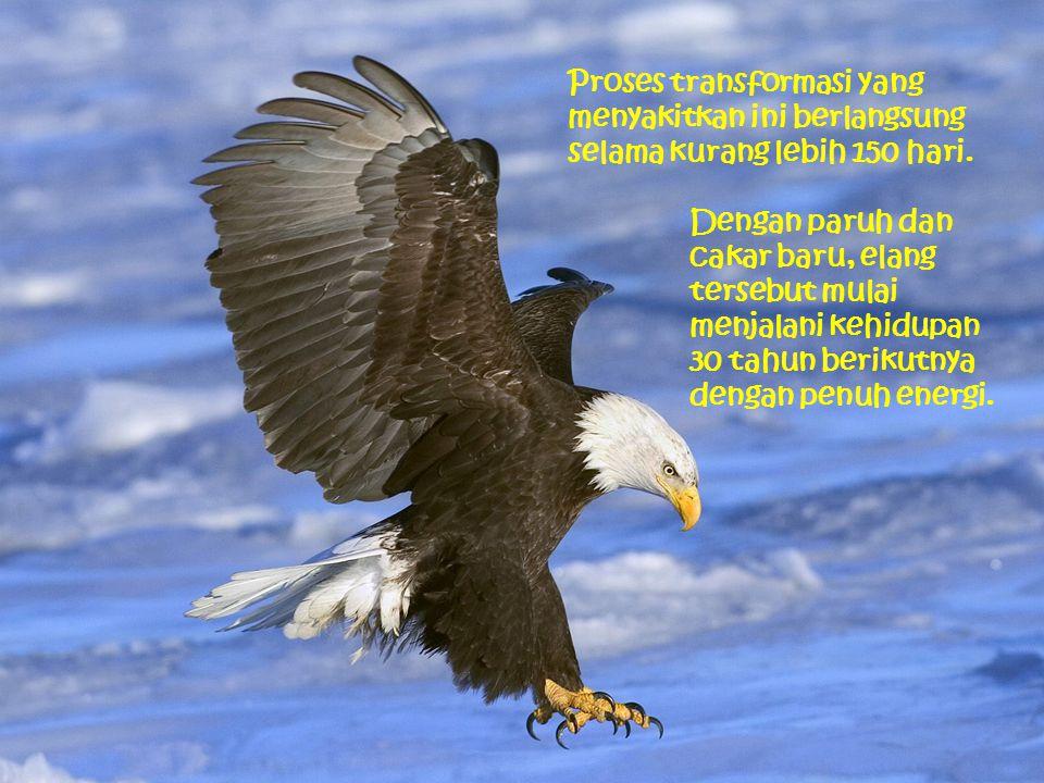 Dengan paruh dan cakar baru, elang tersebut mulai menjalani kehidupan 30 tahun berikutnya dengan penuh energi. Proses transformasi yang menyakitkan in
