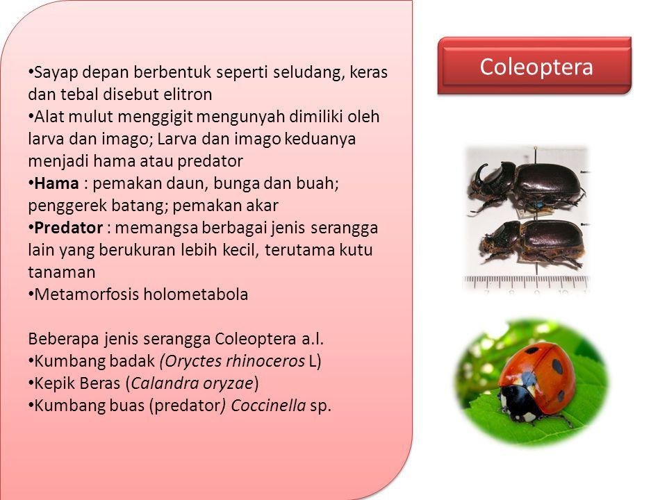 Coleoptera Sayap depan berbentuk seperti seludang, keras dan tebal disebut elitron Alat mulut menggigit mengunyah dimiliki oleh larva dan imago; Larva