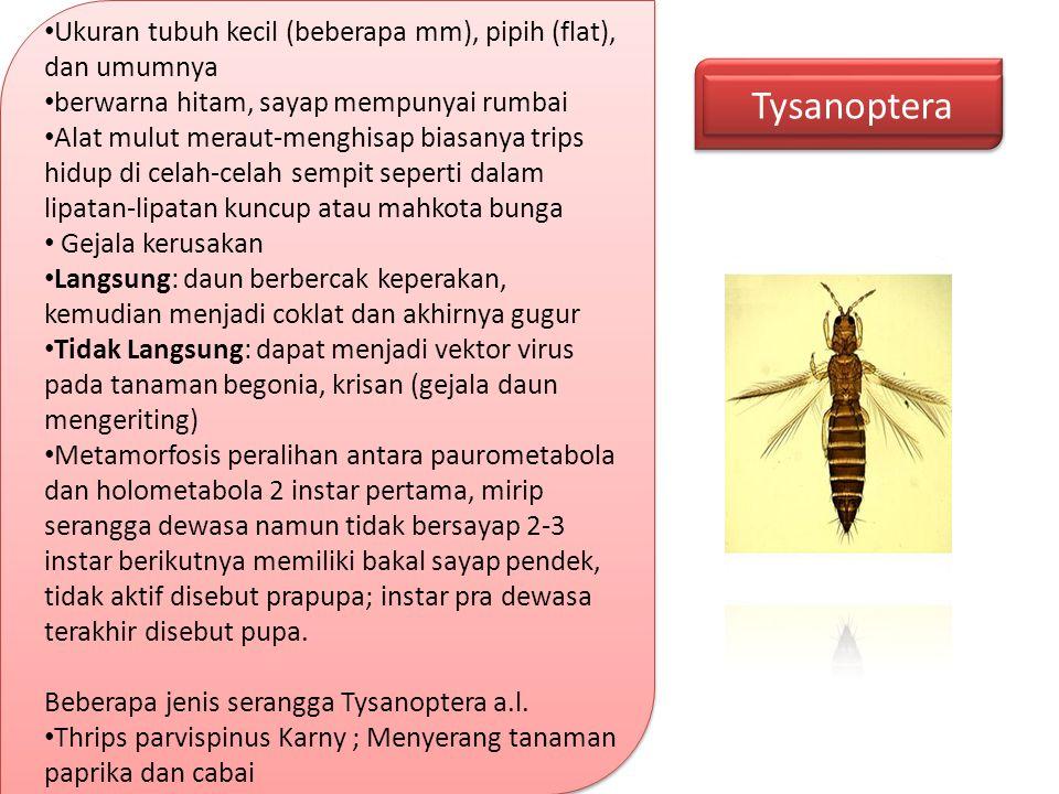 Tysanoptera Ukuran tubuh kecil (beberapa mm), pipih (flat), dan umumnya berwarna hitam, sayap mempunyai rumbai Alat mulut meraut-menghisap biasanya tr