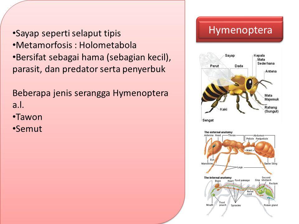 Hymenoptera Sayap seperti selaput tipis Metamorfosis : Holometabola Bersifat sebagai hama (sebagian kecil), parasit, dan predator serta penyerbuk Bebe