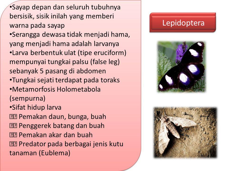 Lepidoptera Sayap depan dan seluruh tubuhnya bersisik, sisik inilah yang memberi warna pada sayap Serangga dewasa tidak menjadi hama, yang menjadi ham